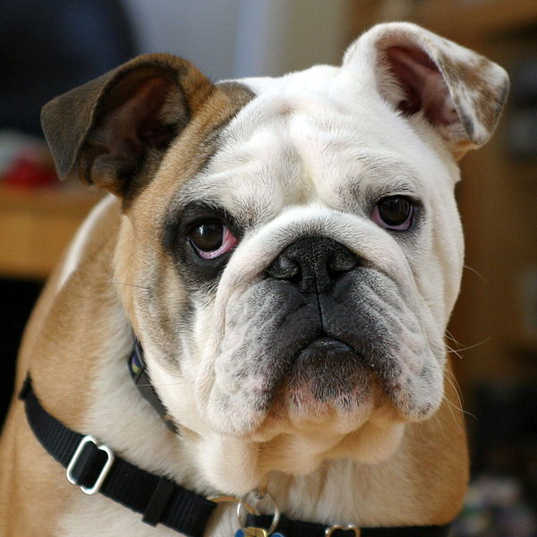 Ever been called a bulldog?