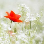 Bright red poppy in a field of white flowers.